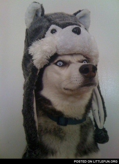 Funny husky in a winter hat