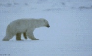 Polar bear hunting fail.