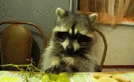 Raccoon eating a grape.