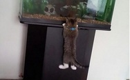 Little hunter. Cat watching the fish in aquarium.